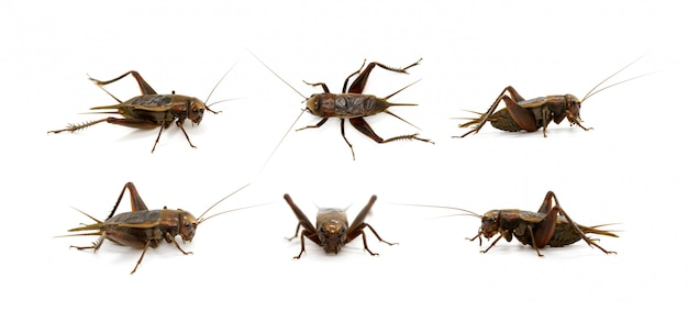Group of cricket, insects. animals.