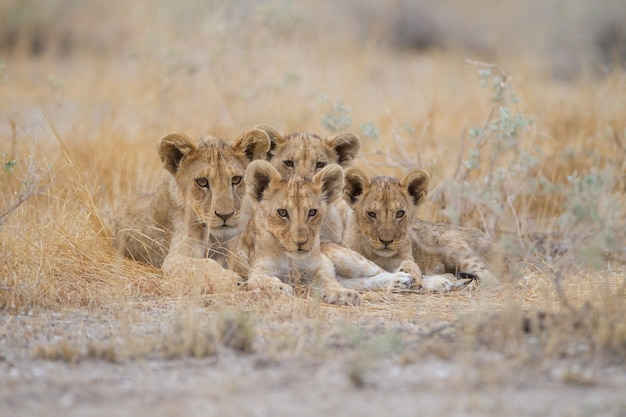 Group of cute baby lions lying among the grass in the middle of a field