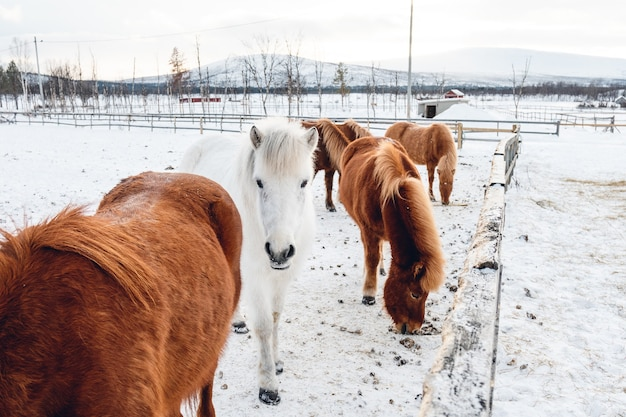 Group of cute horses hanging out on the snowy countryside in northern sweden