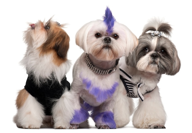 Group of dressed and groomed shih-tzu's