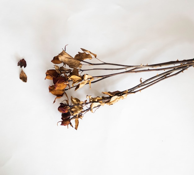 Group of dried rose with dark brown petal ,from aged ,put on background