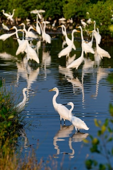 Group of egrets in water of the forests of thailand