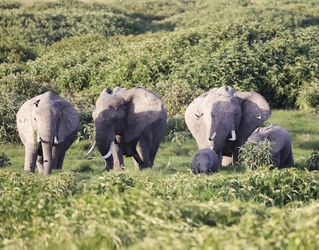 Gruppo di elefanti nel parco nazionale di amboseli, kenya, africa