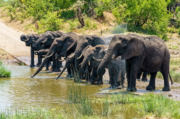 Group of elephants drinking water on a flooded ground during daytime