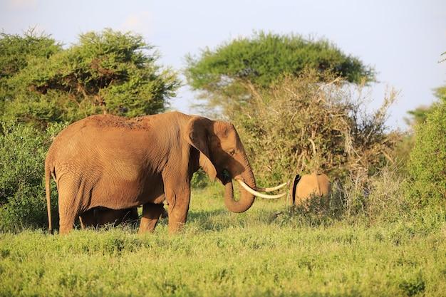 Group of elephants in tsavo east national park, kenya, africa
