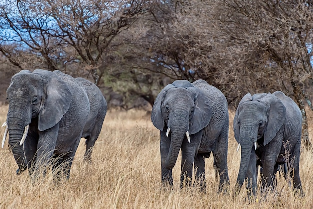 Group of elephants walking on the dry grass in the wilderness