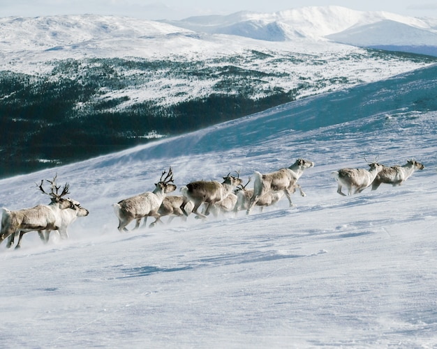 Group of elks climbing up a mountain covered with the snow