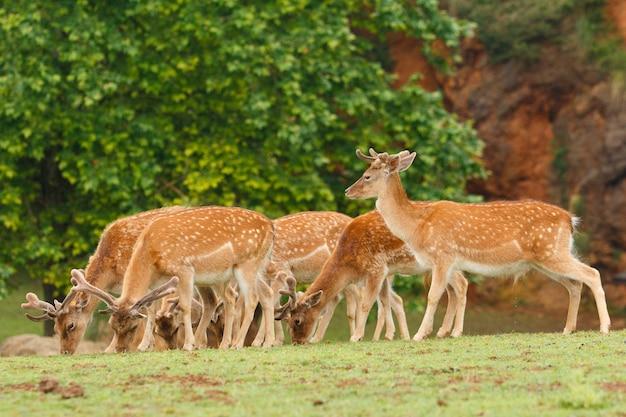 Group of fallow deer grazing