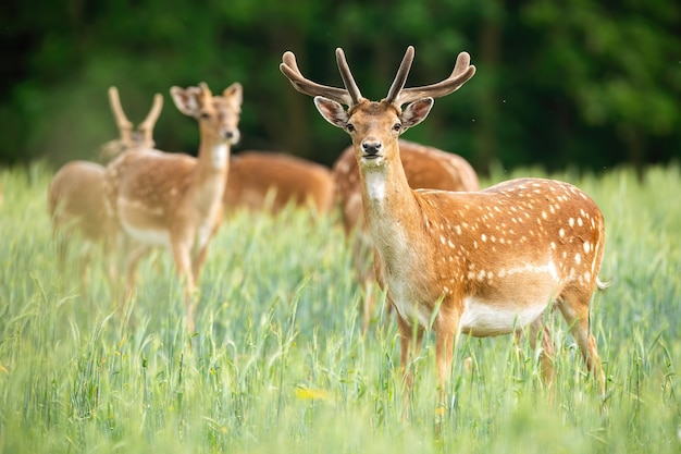 Group of fallow deer stags standing on meadow in the summer.