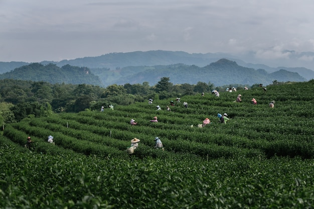 Group farmer working in the lush fields of a terraced farm.