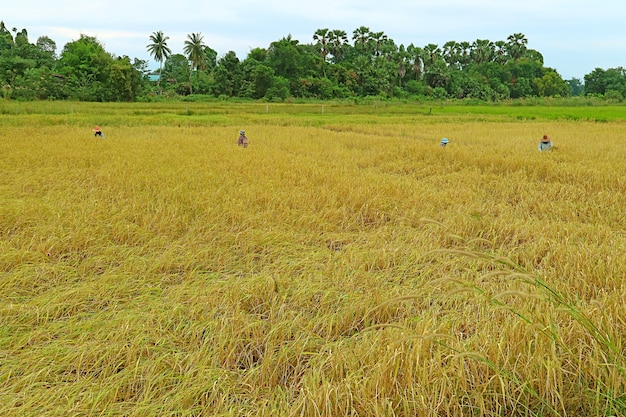 Group of farmers harvesting rice plants by hand, the farmland in northern region of thailand