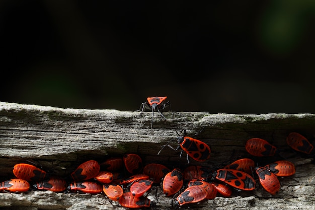 Group of firebugs on a log of wood