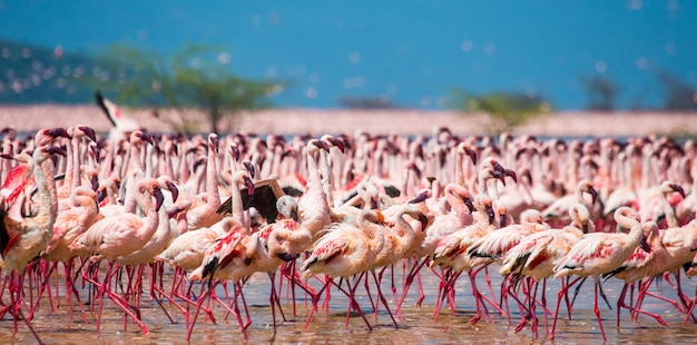 Group flamingos on the lake. kenya