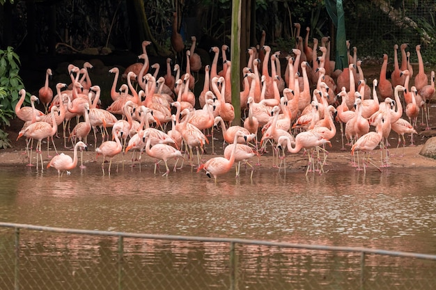 A group of flamingos standing up in a land