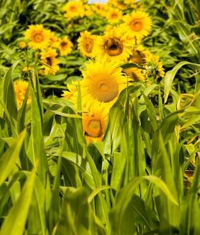 フィールドで美しい黄色の一年生ヒマワリのグループの花、ヨーロッパで成長する油糧種子のための農業、クローズアップ
