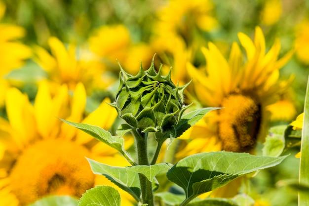 美しい黄色の一年生ひまわりのグループの花
