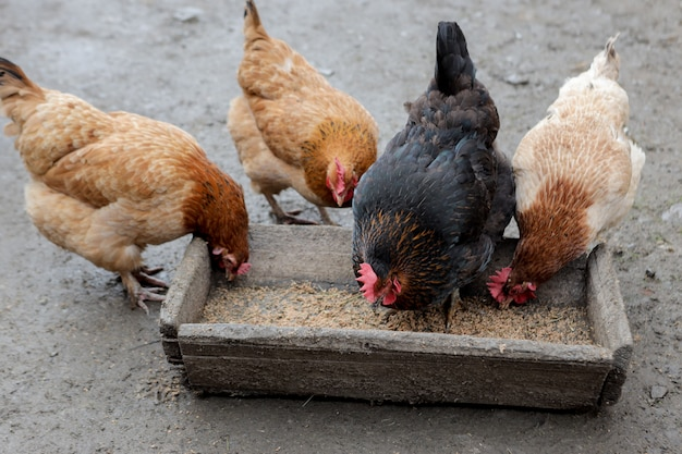 A group of free range chickens eating outside on a farm