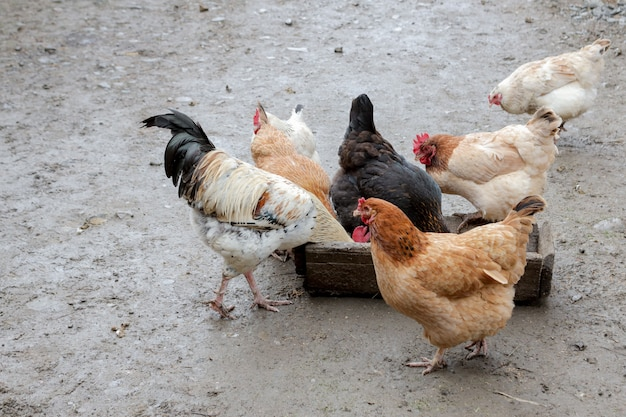 Group of free range chickens eating outside on a farm