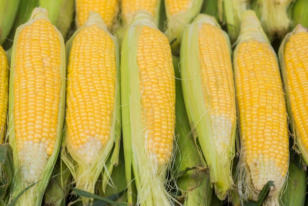 Group of fresh sweet corns on a store. some fresh organic corn cobs with leaves. a group of fresh corns in bazaar for summer season