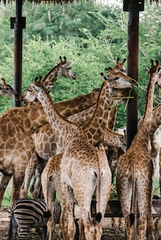 A group of giraffes in an outdoor zoo