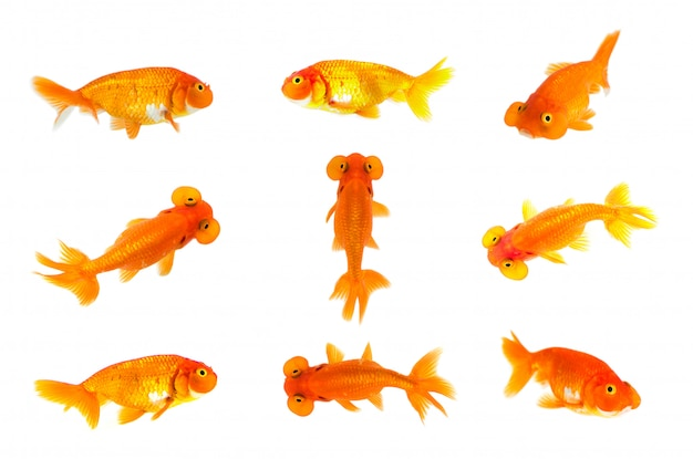 Group of goldfish and bubble eye goldfish isolated. animal. pet.