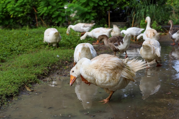 Group goose is eatting grass in nature farm garden after rainny day