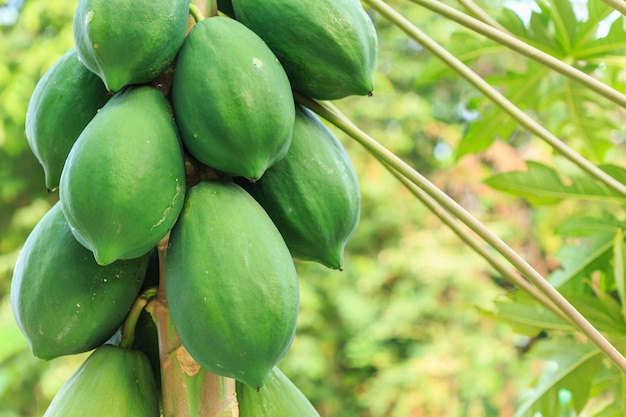Group of green papaya on the tree and blur background