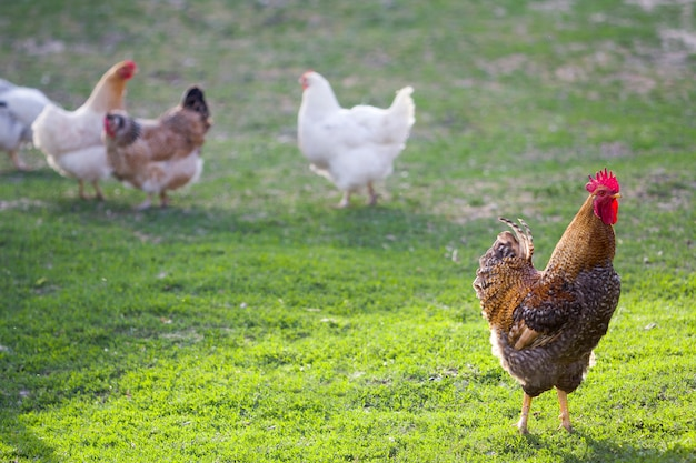 Group of grown healthy white hens and big brown rooster feeding on fresh first green grass outside in spring field on bright sunny day
