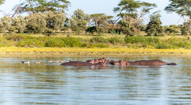 Group of hippopotamus in water, southern africa