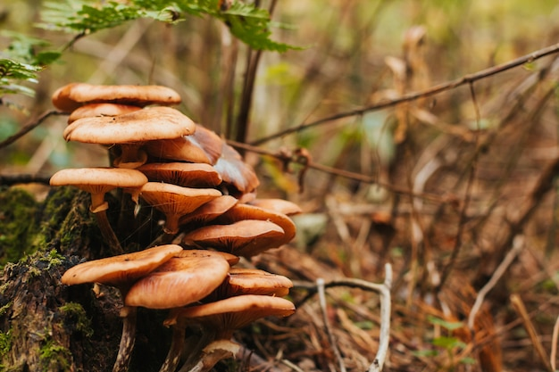 A group of honey agarics in the forest. mushrooms on stump