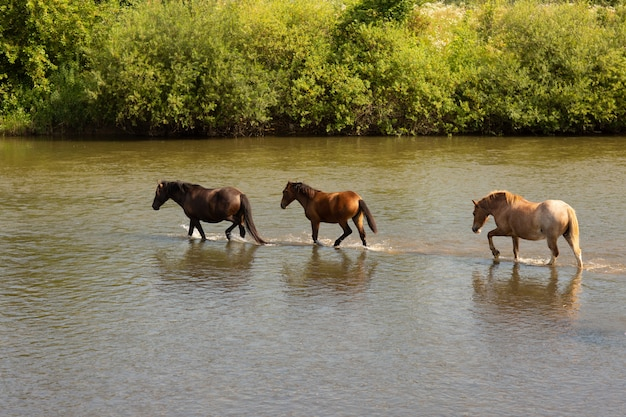 Group of horses running across the river