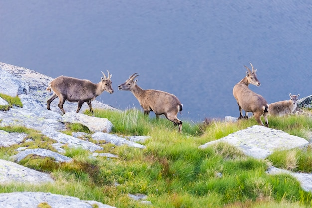 Group of ibex perched on rock looking at the camera with blue lake