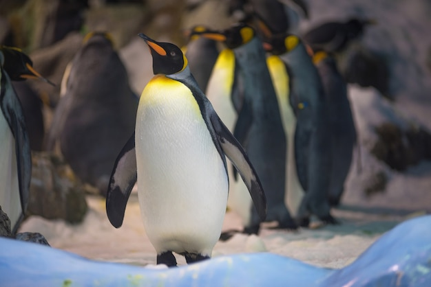 Group of king penguin