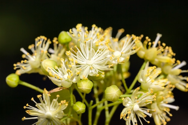 Group of linden tree flowers