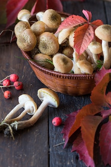Group of little honey mushrooms on a wooden background. fresh, ripe and edible mushrooms, harvesting. autumn