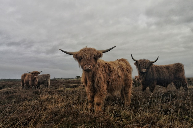 Group of long-haired highland cattle with a cloudy gray sky