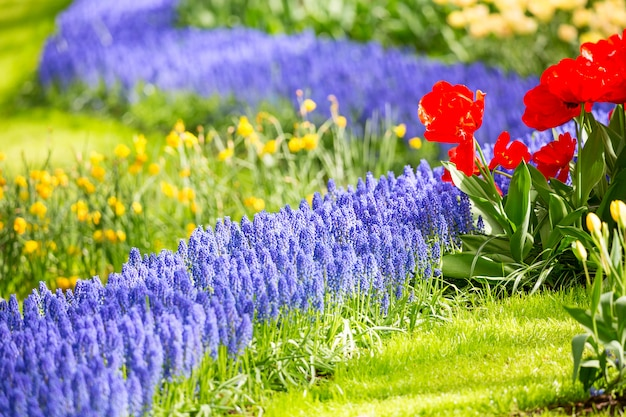 Group of lupines and red tulips and other beautiful flowers growing on flowerbed as nice natural floral .