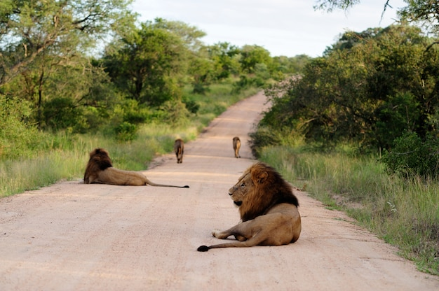Group of magnificent lions on a gravel road surrounded by grassy fields and trees