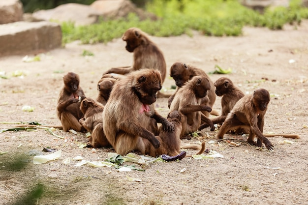 A group of monkeys macaques on the ground