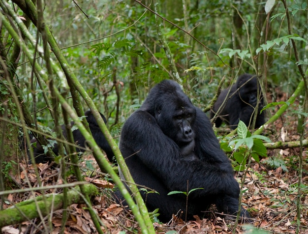 Group of mountain gorillas in the rainforest. uganda. bwindi impenetrable forest national park.