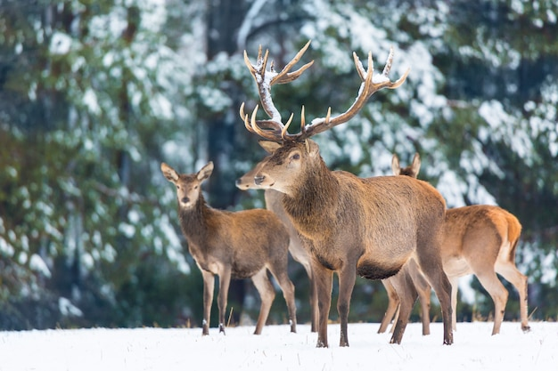 Group of noble deers cervus elaphus in winter forest