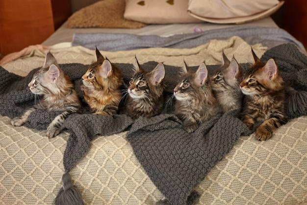 ベッドの上の灰色の暖かい毛布に横たわっている6匹のかわいいメインクーンの子猫のグループ