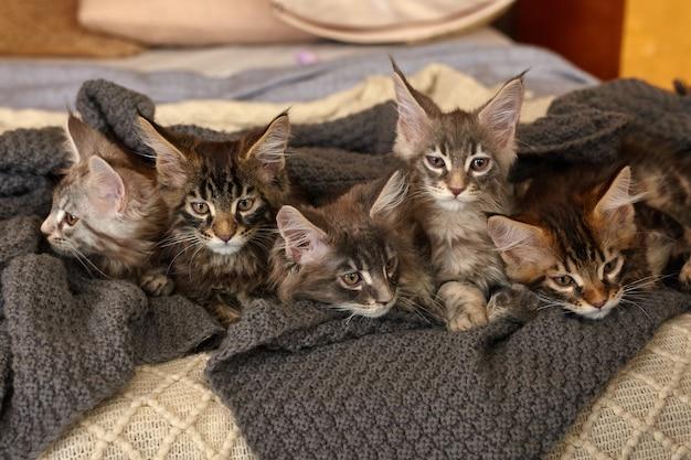 灰色の暖かい毛布に横たわっている6匹のかわいいメインクーンの子猫のグループ