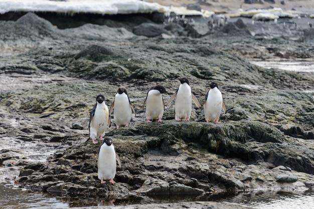 南極のビーチでアデリーペンギンのグループ