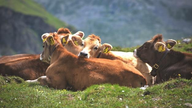 Группа коров альпийской породы в стаде