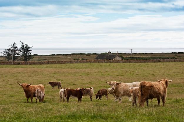 Группа коров ангуса с теленками в шотландии