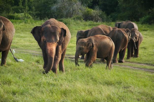 スリランカのアジア象のグループ