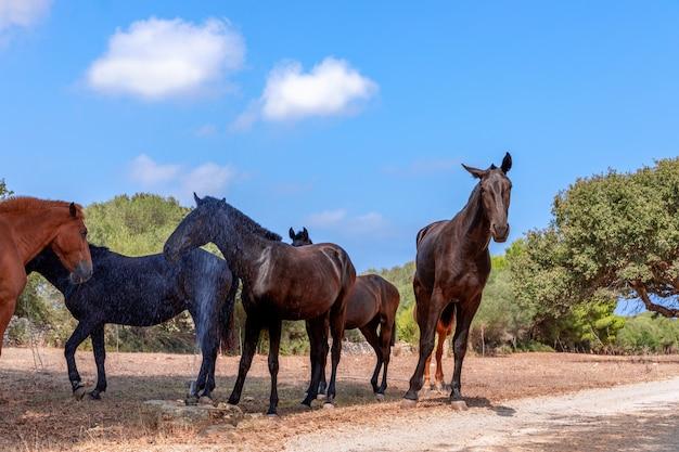 美しい馬(メノルキン馬)のグループは、木陰でリラックスします。メノルカ島(バレアレス諸島)、スペイン