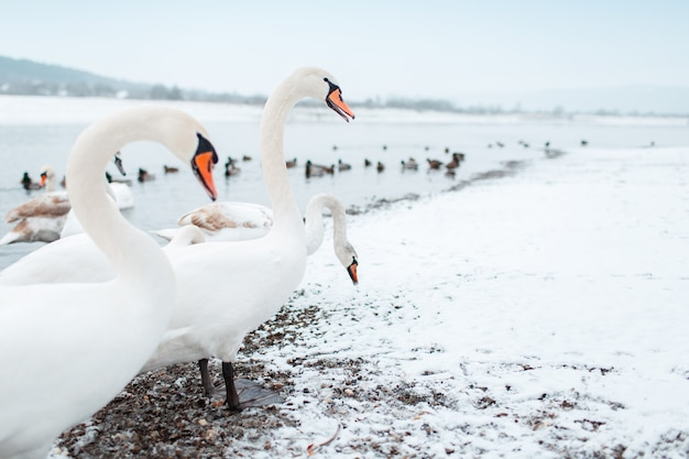 冬の日の川沿いの美しい白い白鳥のグループ。