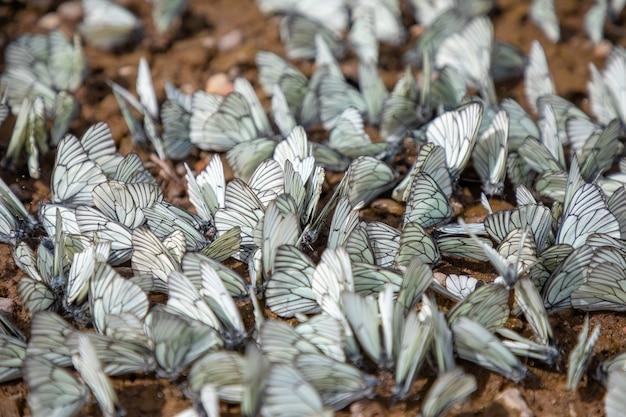 검은색 흰 나비 또는 aporia crataegi 시베리아 러시아의 그룹